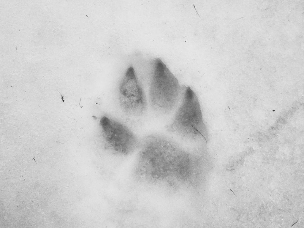 wolf-footprint